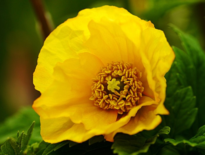 poppy yellow flowers