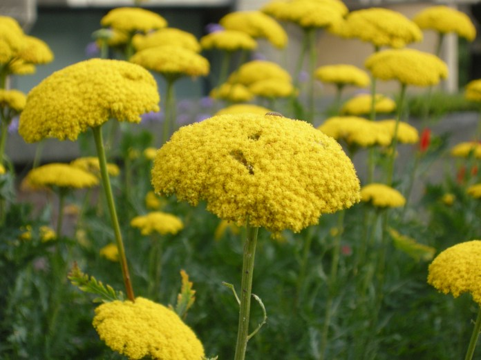 Top 30 beautiful yellow flowers names list with pictures yellow flower with meaning mightylinksfo
