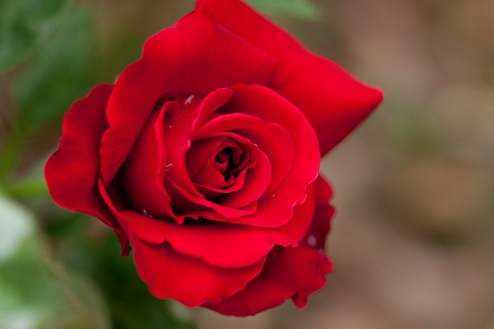 beautiful Rose Wallpapers most beautiful flower in the world