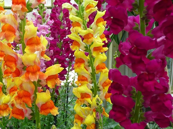 snapdragon flower images hd wallpapers beautiful flowers in the world