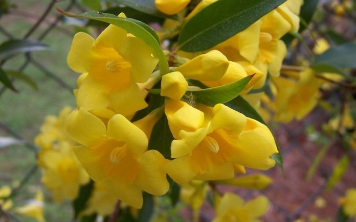 yellow jaismine flowers