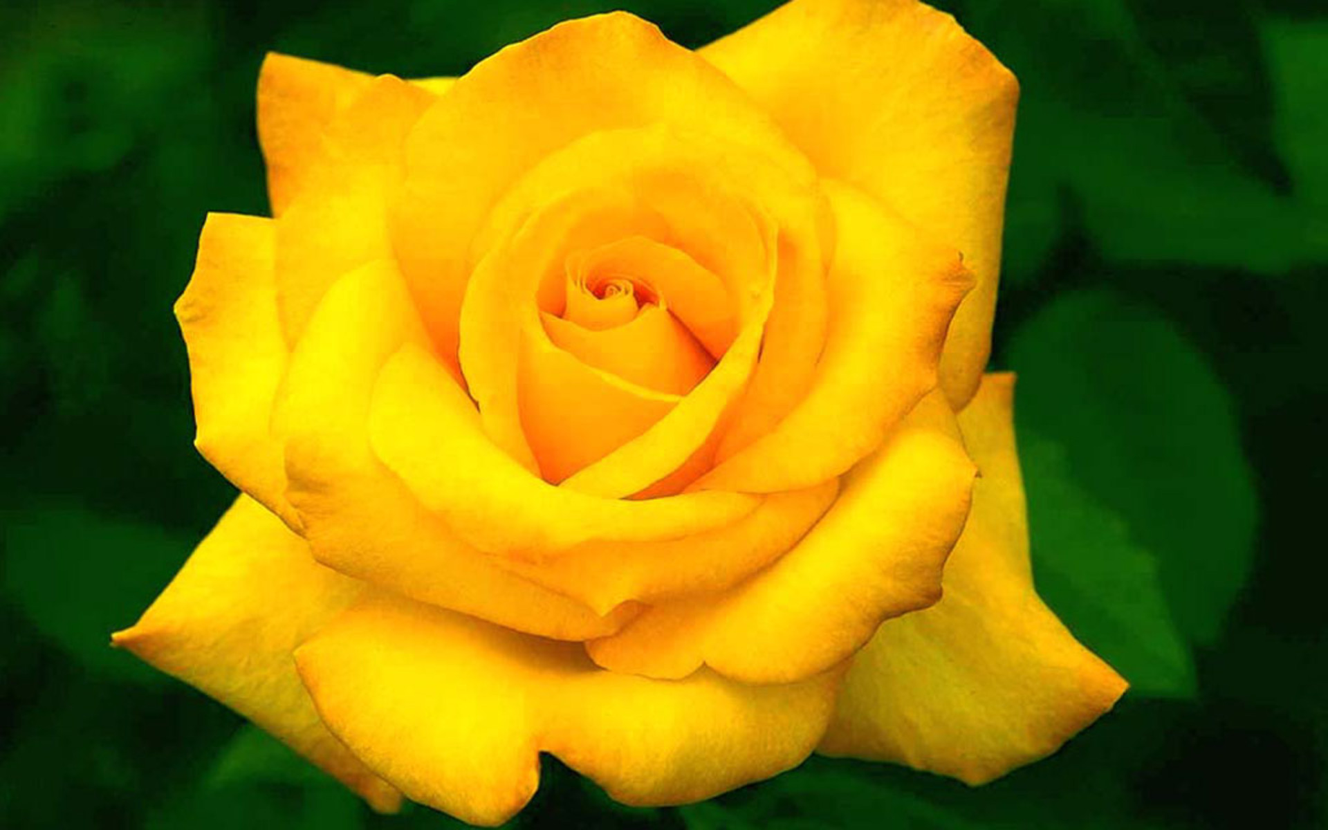 Top 30 beautiful yellow flowers names list with pictures rose flowers wallpapers mightylinksfo Choice Image