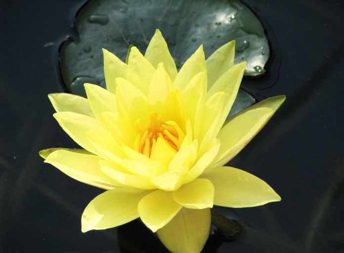 Top 30 beautiful yellow flowers names list with pictures yellow water lily mightylinksfo