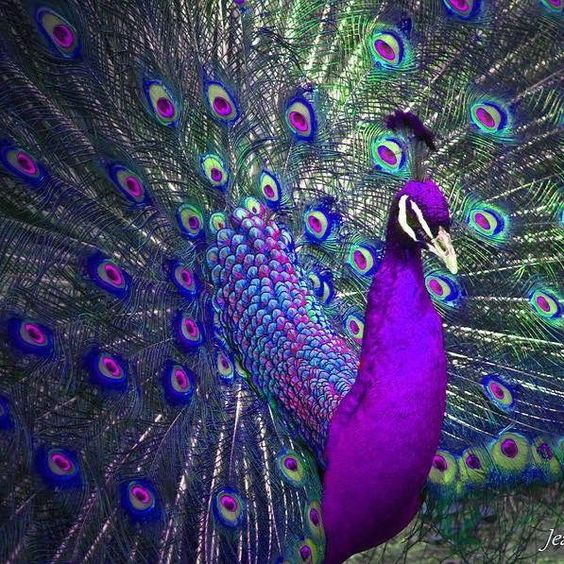 Stunning Peacock Wallpapers Images Latest Collection