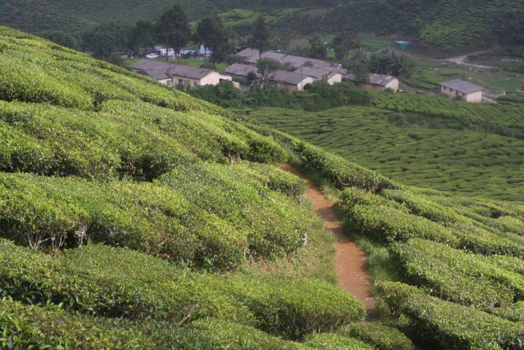 Houses in distance in tea plantation