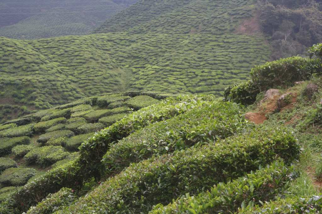View across tea plantation valley
