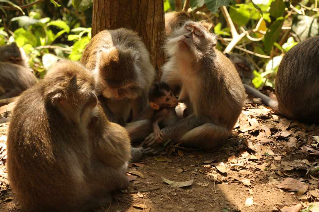 Baby monkey suckling mother