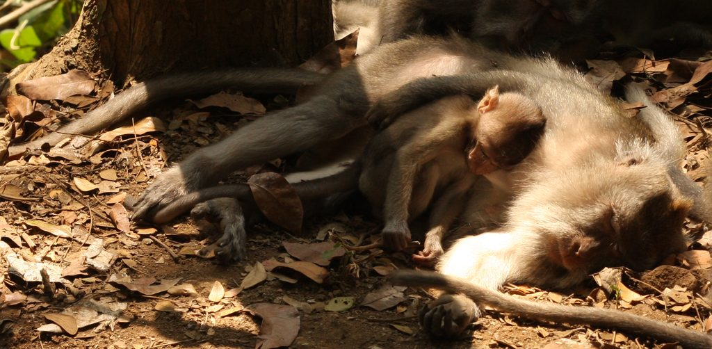Two monkeys sleeping together