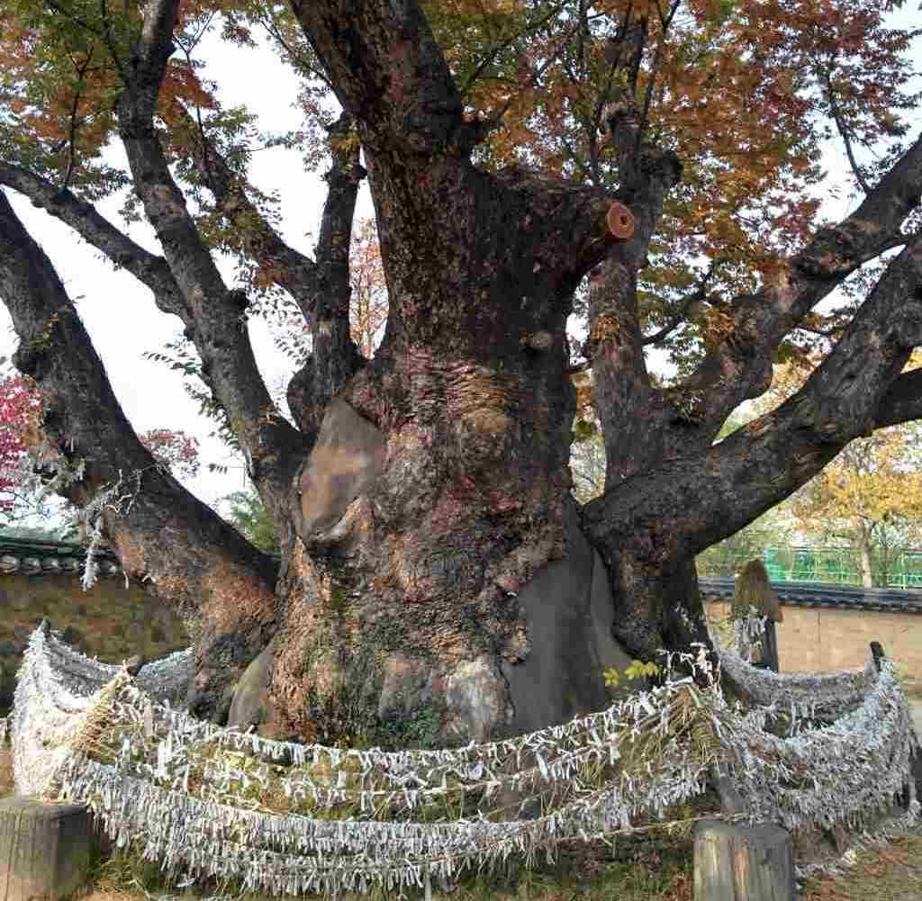 Samsin tree
