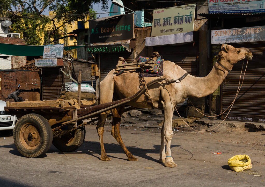 Camel and cart in Rajasthan