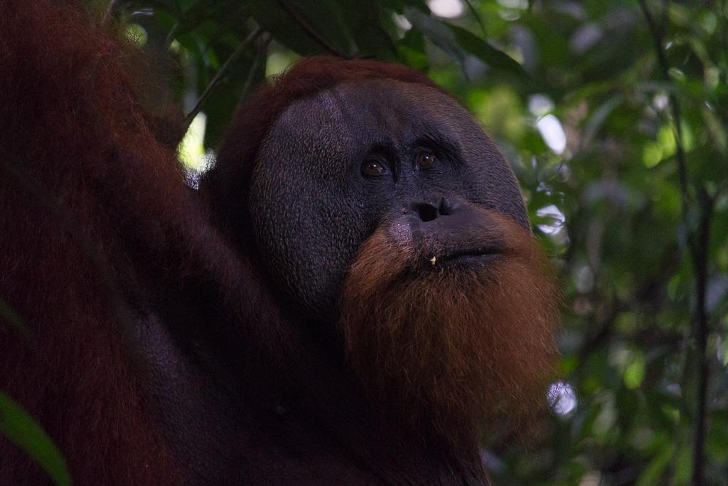 Orangutan, Sumatra