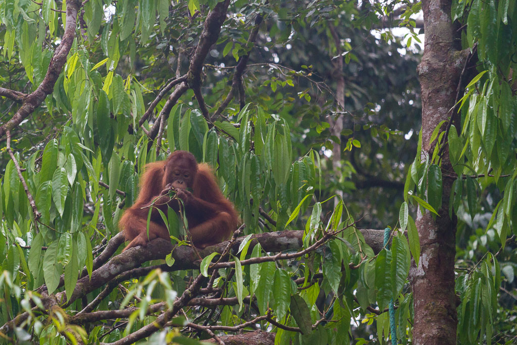 Orangutan at Semenggoh Nature Reserve
