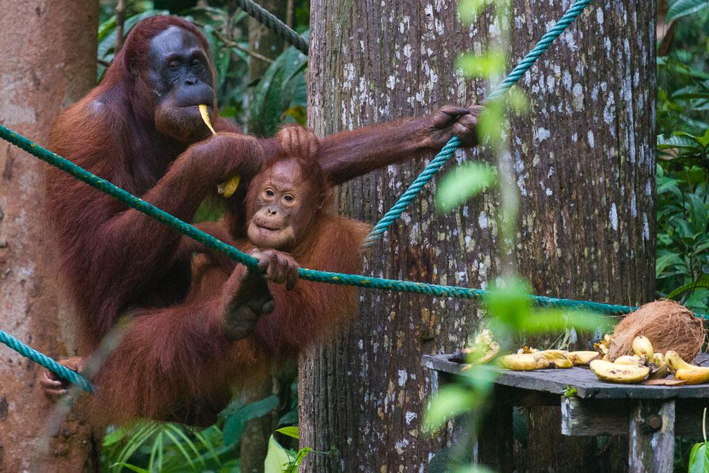 Orangutan at Semenggoh Nature Reserve
