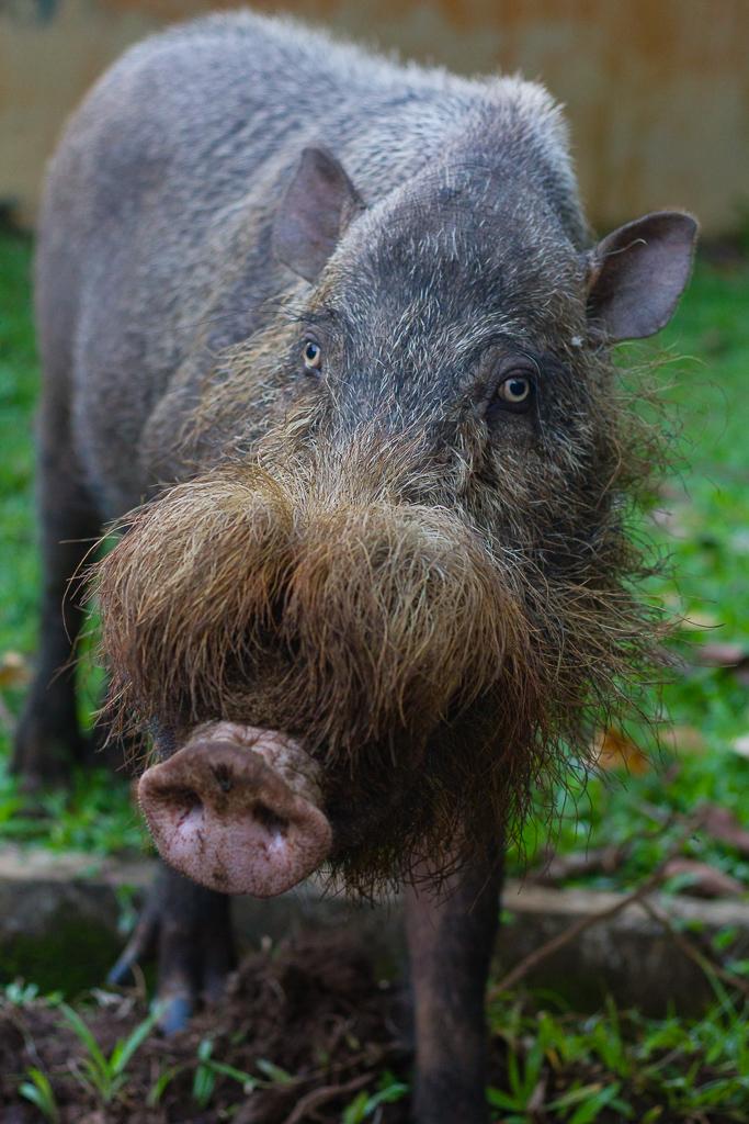 Bornean bearded pig