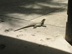 A Lizard Walking Around the Zoo Freely