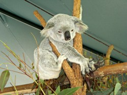 One of the Koalas That Peed On My Little Sister