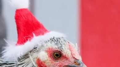 Photo of Christmas Fowl Business