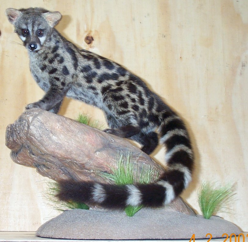 Genet Cat in Our House
