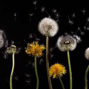 Dandelions blowing