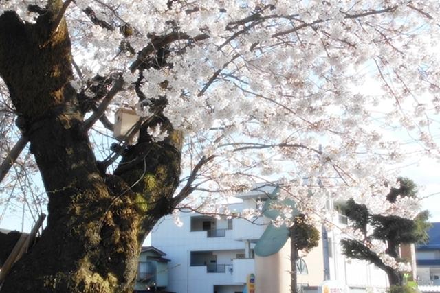 満開の桜越しにちょっとアトリエも見えてます
