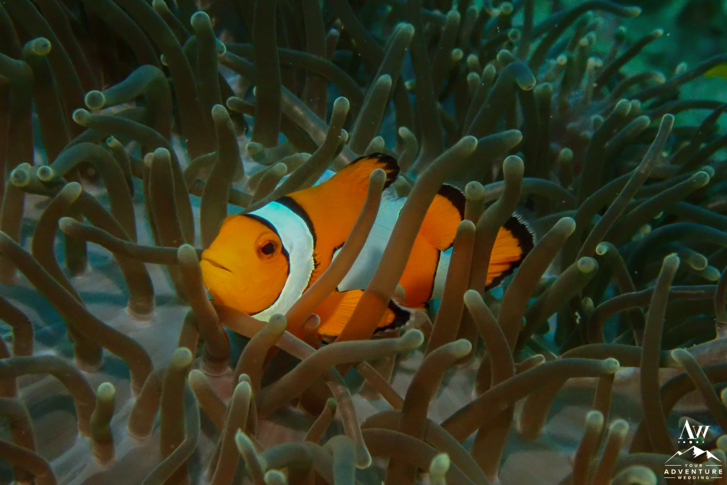 Clown Fish Found in Similan Islands Thailand