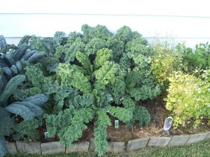 Lacinato and blue curled scotch kale.