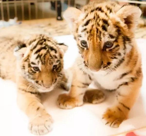 baby-animals-42