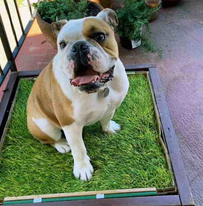 Fresh Patch Grass Review Your Dog Advisor