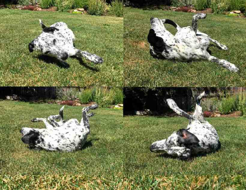 How to Train Your Dog to Roll Over on Command 8