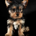13 Things You Need To Know About The Teacup Yorkie Your Dog Advisor
