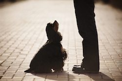 american cocker spaniel training at the man's feet