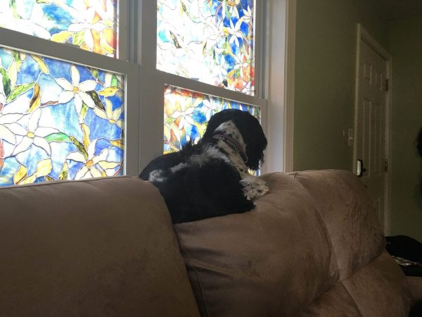 Black and white cocker spaniel perched on the back cushion of a couch, looking out a window