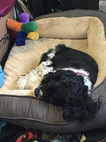 Black and white cocker spaniel asleep in a gray and beige tufted dog bed on the floor