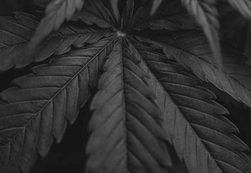 grayscale photo of a cannabis