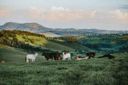 herd of cattle in daytime for meat industry
