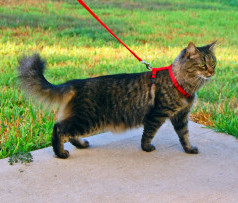 Cat_harness_leash