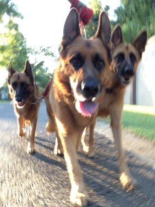 alsatians-action-shot