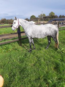 Isichia, a grey connemara mare stood. Side on photo.