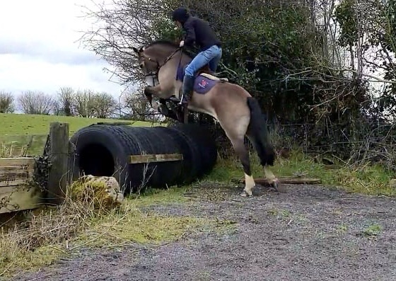 Castledaly sophie a dun horse jumping a cross country fence made up of tyres