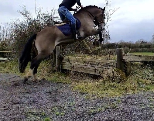 Castledaly Sophie Jumping a  bank cross country fence