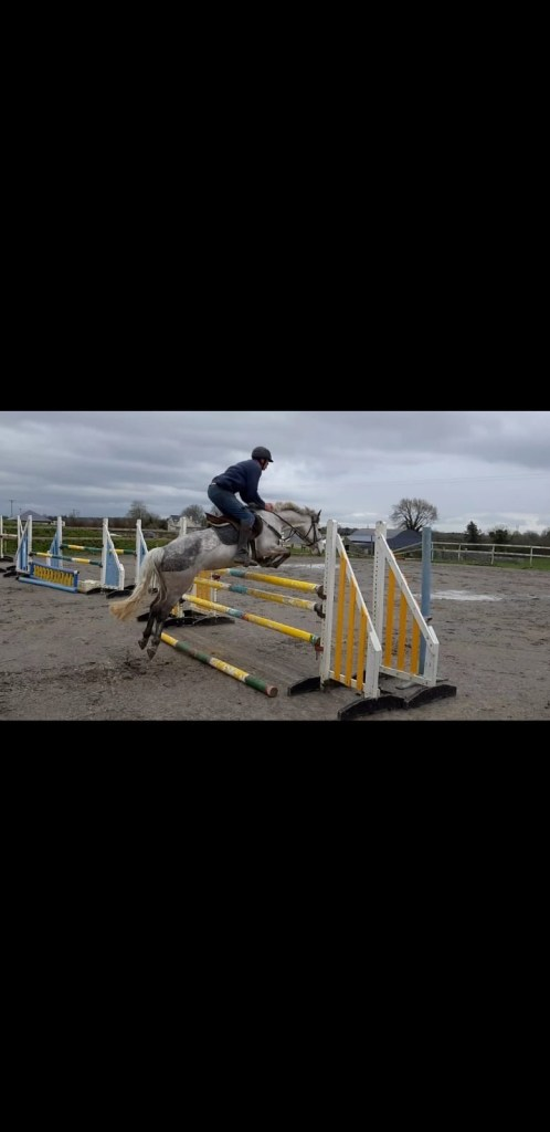 Grey connemara pony jumping a fence