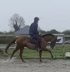 Chestnut pony Foxhall Red Clover cantering