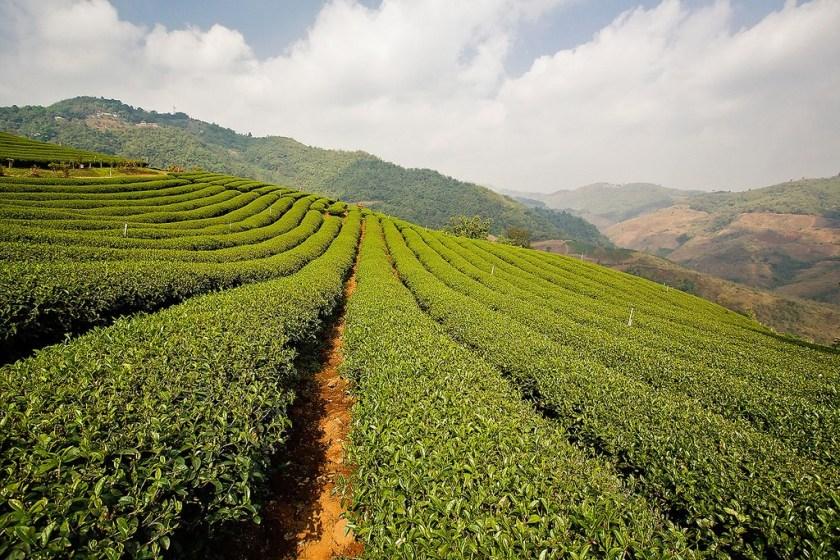 green-tea-plant-called-camellia