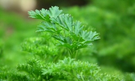 What Are The Health Benefits Of Parsley?