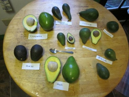 avocado varieties