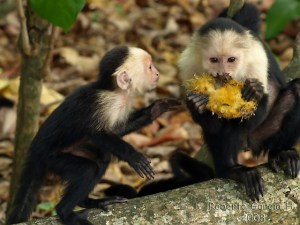 Capuchin monkey eating_3