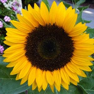 Fall Sunflower Wallpaper Summer Wedding Flowers Your Perfect Day Perrysburg