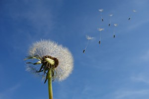 photo_dandelion_small_wins