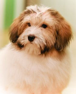Coton De Tulear Rescue : coton, tulear, rescue, Coton, Tulear:, What's, About
