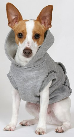 Toy Rat Terriers For Sale : terriers, Terriers:, What's, About